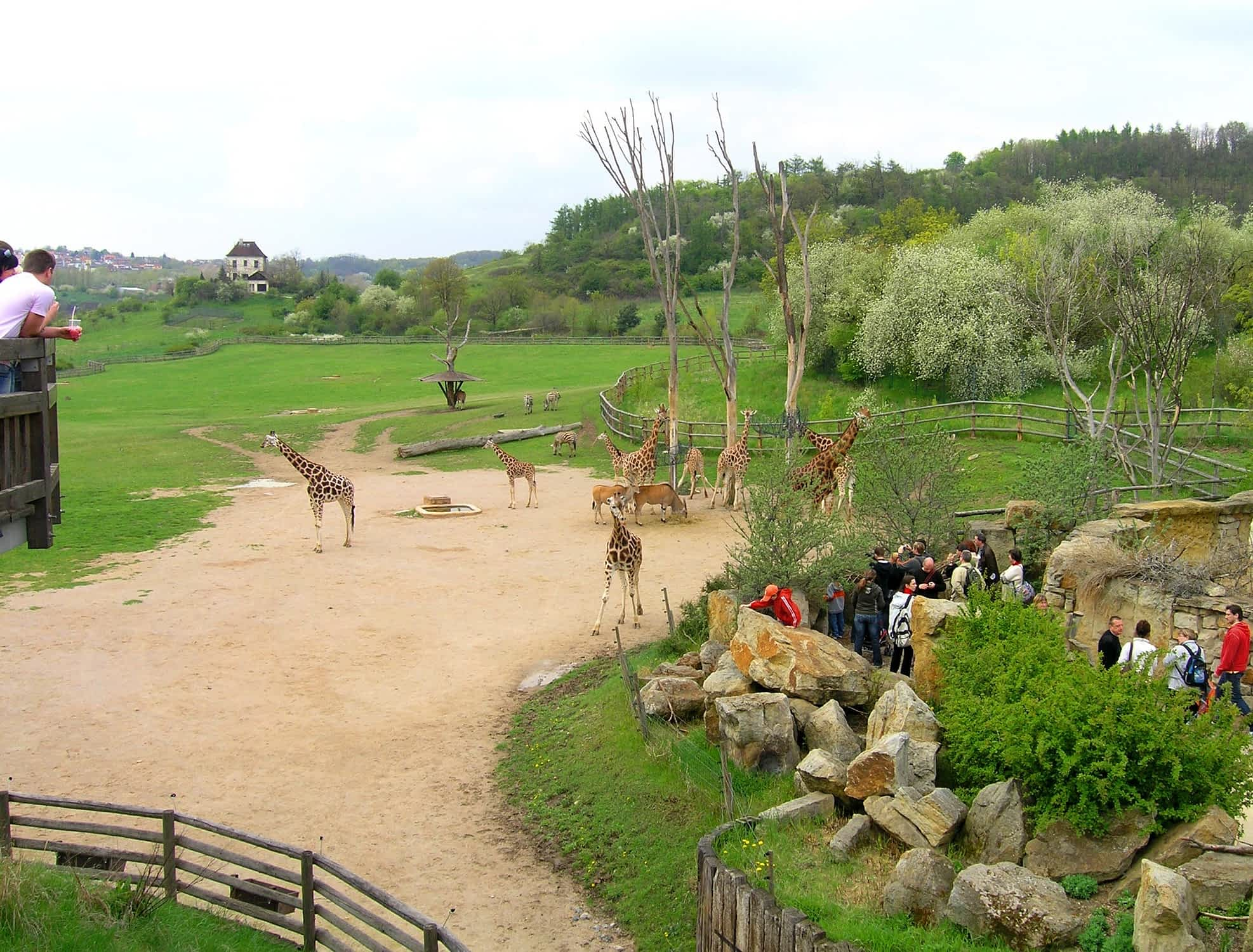 Giraffe exposition is one of the most visited part of the Prague Zoo